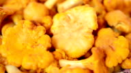Cantharellus. Mushrooms. video