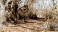 CU Cape Ground Squirrel Eating Something video