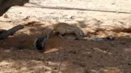 Cape Ground Squirrel video
