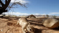 CU Cape Ground Squirrels Looking For Food video