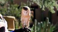 Captive female Barn Owl, Tyto alba video