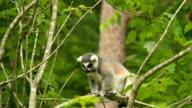 Captive Lemur video
