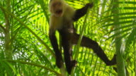 Capuchin Monkey acting aggressive , Manuel Antonio video