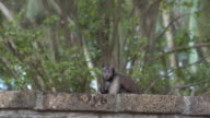Capuchin monkey on the brick wall. Ruins in the rainforest video