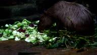 capybara eating food video