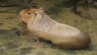 Capybara. He is sitting in a brook video