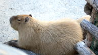 Capybara lies on the earth video