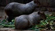 capybara. video