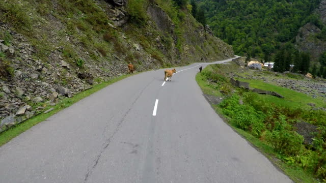 Car riding on mountain road along river, cattle walking around, village ahead video