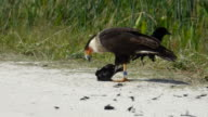 Caracara Ripping Feathers Off A Dead Blackbird video