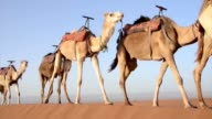 A caravan of camels walking on a sand dune one after another video