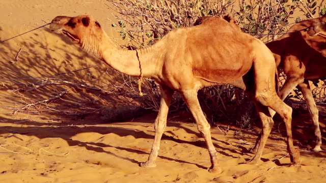 A caravan of dromedary camels amid a desert landscape video