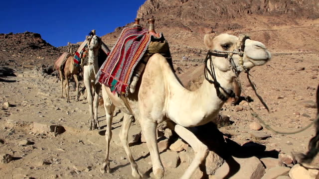 Caravan. Wilderness of Mount Sinai. Egypt video