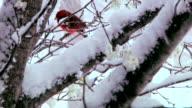 Cardinal in snowy tree video