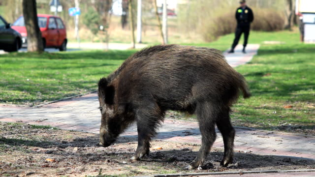 Carefree wild boar in a town video