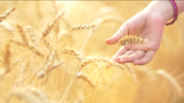 Caressing The Wheat video