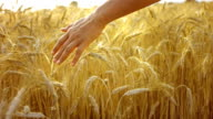 Caressing Wheat Crops (Super Slow Motion) video