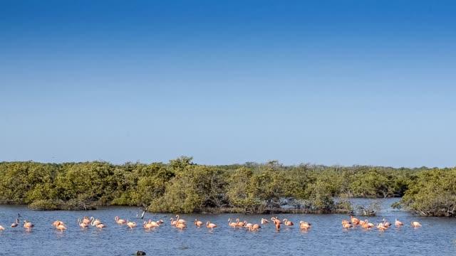 Caribbean Flamingos in Bonaire. video