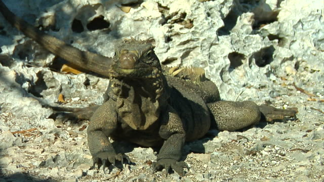 Caribbean iguana opening his mouth. (hd) video