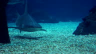 Caribbean reef sharks swimming over coral video