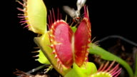 Carnivorous plant video