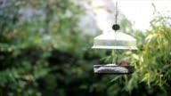 Carolina Wren and Chipmunk at Bird Feeder video