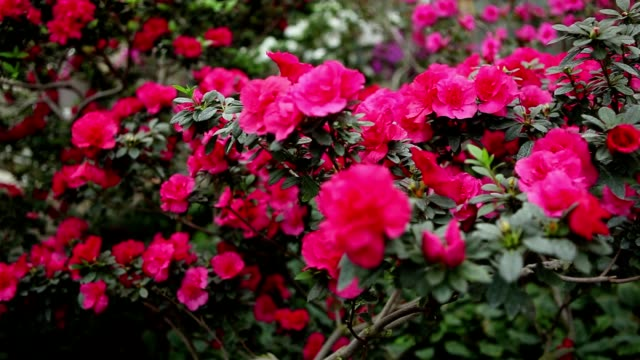 Carpet of Bright Pink Flowers on Branches of Azaleas Bushes video