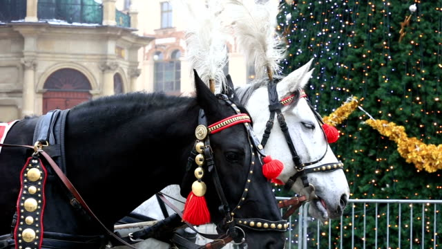 Carriage of white and black horses in festive harness, Krakow video