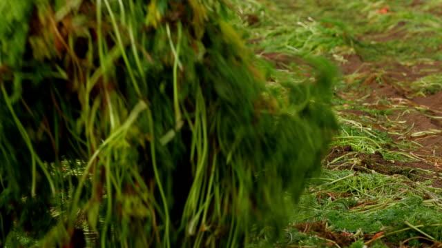 Carrot Field video