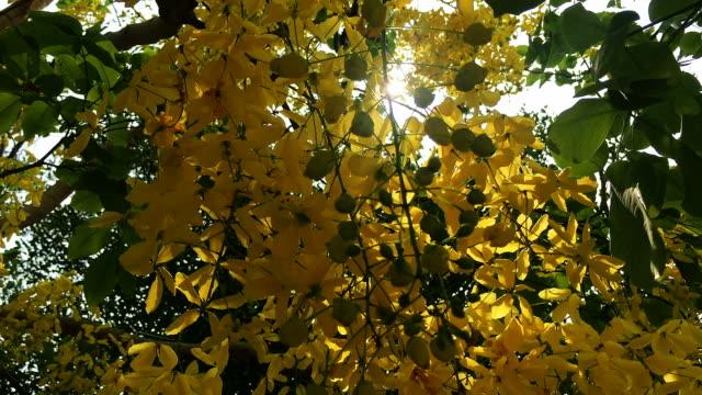 cassia fistula flower footage background video