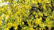 Cassia fistula flower video