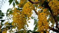 Cassia fistula flower video