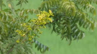 cassia flower with wind video
