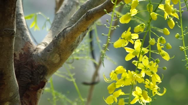 cassia flowers are moving video