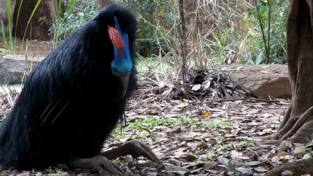 Cassowary bird video