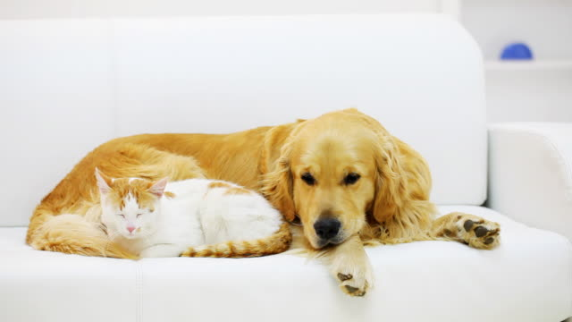 Cat and dog resting together. video