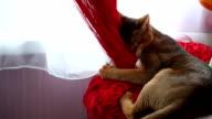 Cat Chews Curtain video