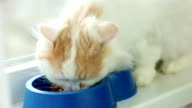 cat eating dry cat food, closeup white long-haired cat, pet eating food in blue plastic bowl indoor video