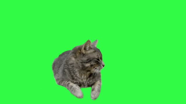 Cat green screen video