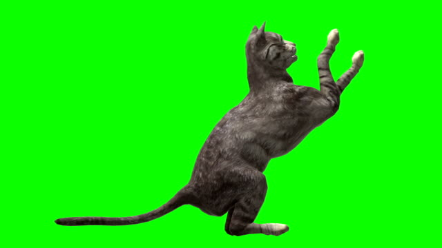 Cat Green Screen (Loopable) video
