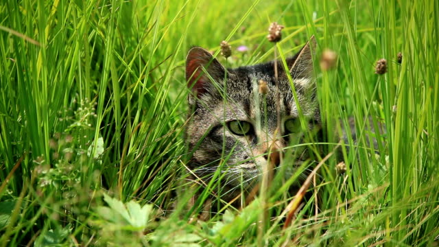 HD: Cat in Grass, Windy weather video