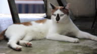 Cat licking leg. video
