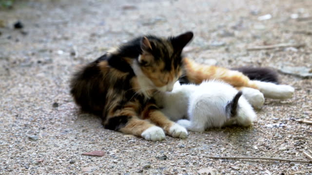 cat mother cleaning kitten on street video