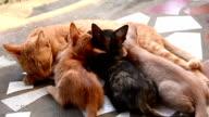 Cat Nursing her Kittens video