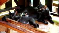 Cat nursing her little kittens video