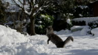 SLOW MOTION: Cat playing in fresh snow video