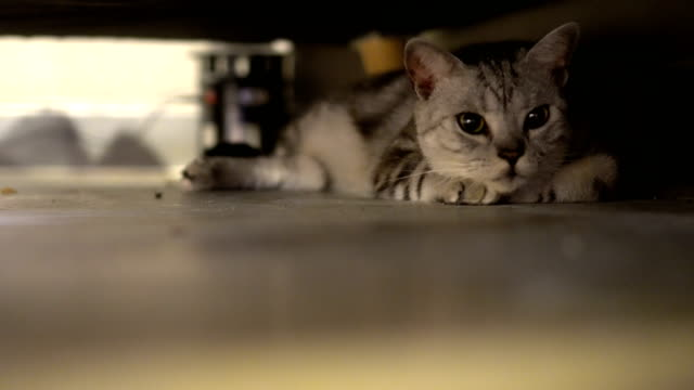 Cat playing under the couch video
