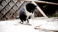 Cat playing. video