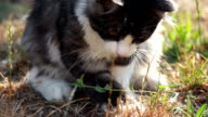 Cat playing with hunted locust video