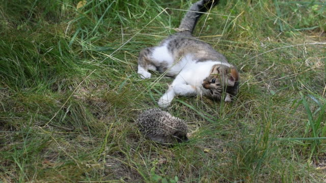 Cat plays with a curled hedgehog outdoors in green field video